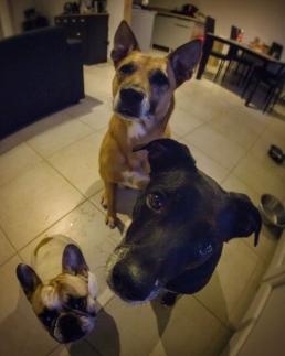 chiens Fafa
